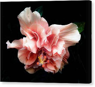 Bashful Hibiscus Canvas Print by Kathryn  Stivers