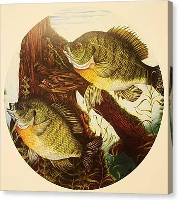Basking Bluegills Canvas Print by Bruce Bley