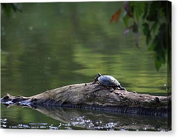 Canvas Print featuring the photograph Basking Turtle by Lyle Hatch