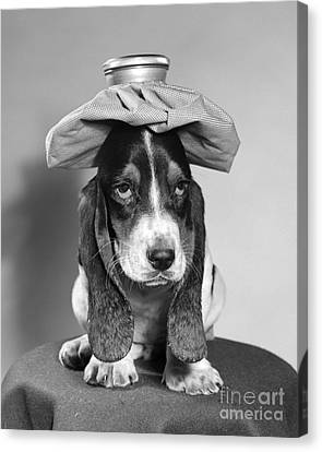 Basset Hound With Ice Pack Canvas Print