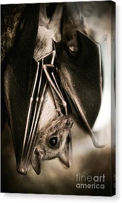 Bat Hanging Alone Closeup Canvas Print by Arletta Cwalina