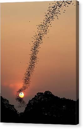 Bat Swarm At Sunset Canvas Print by Jean De Spiegeleer