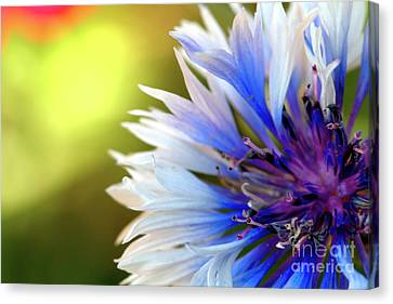 Batchelors Blue And White Button Canvas Print