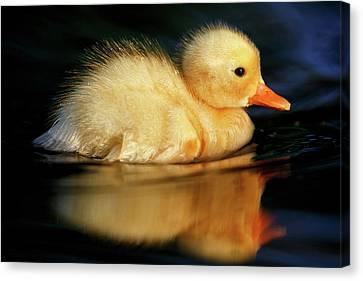 Bath Duckie Canvas Print