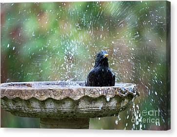 Starlings Canvas Print - Bath Time by Tim Gainey