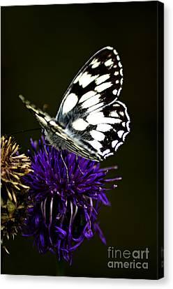 Bathwhite Butterfly Canvas Print