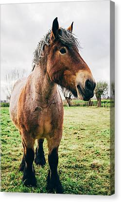 Bay Draft Horse In A Field Canvas Print