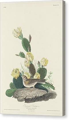 Bunting Canvas Print - Bay-winged Bunting by Dreyer Wildlife Print Collections