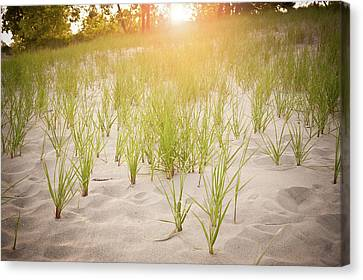 Beach Grasses Number 3 Canvas Print by Steve Gadomski