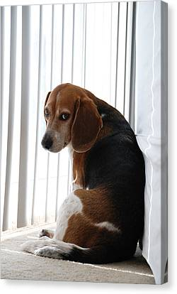 Canvas Print featuring the photograph Beagle Attitude by Jennifer Ancker
