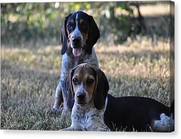 Beagles Canvas Print by Tammy Price