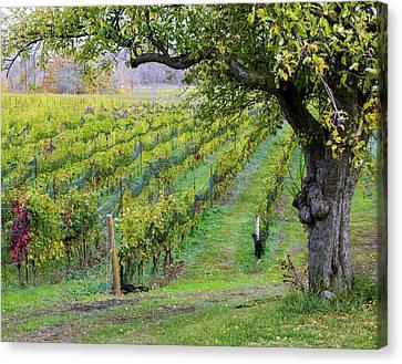 Beamsville Bench Vineyard Canvas Print by Rick Shea