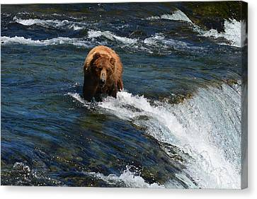 Bear At The Top Of The Falls Canvas Print