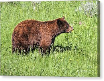 Canvas Print featuring the photograph Bear Eating Daisies by Jemmy Archer