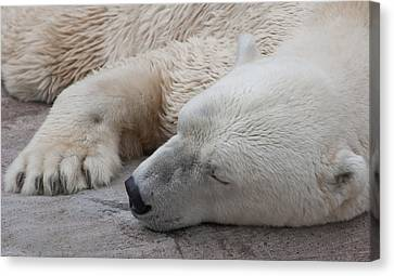 Bear Nap Canvas Print