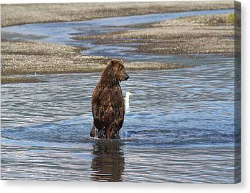 Bear Standing In River Canvas Print by David Wilkinson