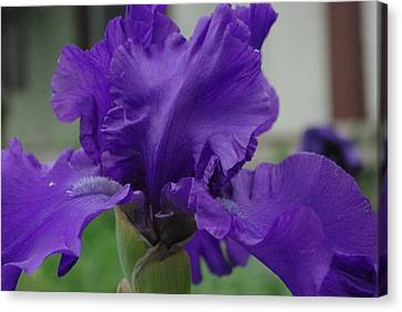 Canvas Print featuring the photograph Bearded Blue Iris by Robyn Stacey