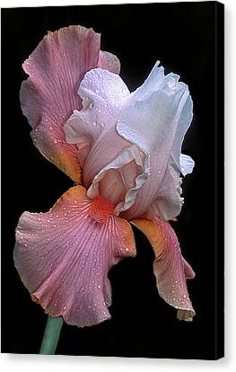 Bearded Iris Canvas Print by Dave Mills