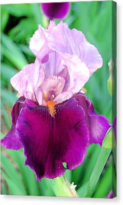 Bearded Iris In Violet Canvas Print by Jame Hayes