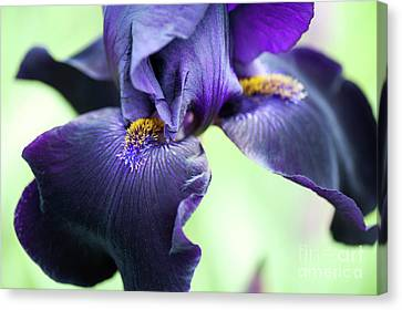 Bearded Iris Interpol Flower Canvas Print by Tim Gainey