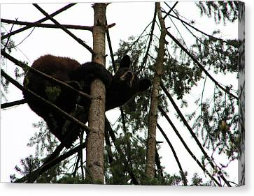 Bearly Hanging On Canvas Print by Nick Gustafson