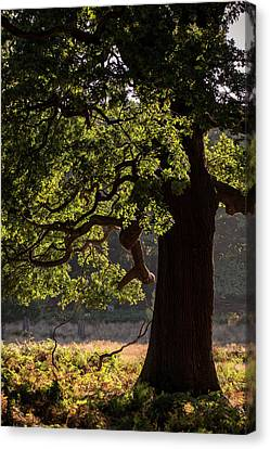 Beautiful Acorn Oak Tree In Forest Landscape With Dappled Sunlig Canvas Print by Matthew Gibson