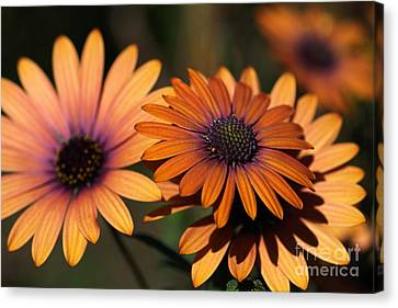 Canvas Print - Beautiful African Daisy Zion Red Flowering Bright by Joy Watson