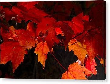Beautiful Backlit Autumn Maple Leaves Canvas Print by Darrell Young