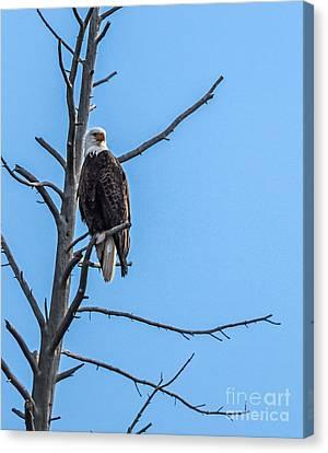 Beautiful Bald Eagle Canvas Print