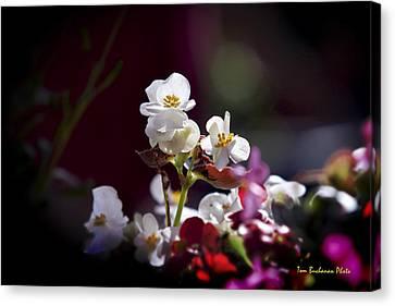 Beautiful Begonia Canvas Print by Tom Buchanan