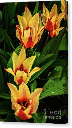 Canvas Print featuring the photograph Beautiful Bicolor Tulips by Robert Bales