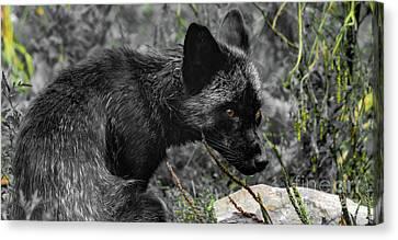 Beautiful Black Fox Canvas Print