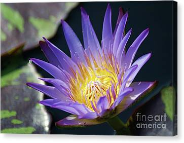 Beautiful Blue Water Lily...   # Canvas Print by Rob Luzier