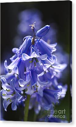 Canvas Print - Beautiful Blues Of Bluebells by Joy Watson