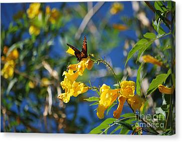 Beautiful Butterfly Canvas Print by Donna Greene