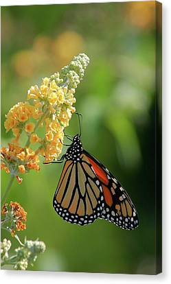 Beautiful Butterfly Canvas Print by Karol Livote