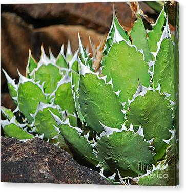Canvas Print featuring the photograph Beautiful Cactus by Donna Greene