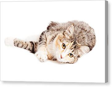 Beautiful Calico Kitty Laying Looking Forward Canvas Print by Susan Schmitz