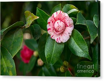 Beautiful Camellia Marischino Flower. Canvas Print by Jamie Pham