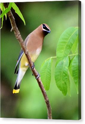 Beautiful Cedar Wax Wing  Canvas Print by Sheri McLeroy