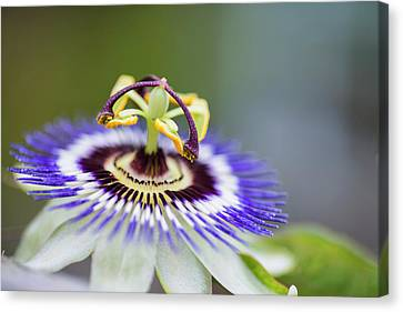Beautiful Close Up Image Of Passion Flower On The Vine Canvas Print