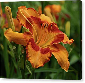 Beautiful Daylily Canvas Print