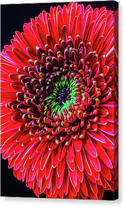 Beautiful Details Of Gerbera Daisy Canvas Print by Garry Gay