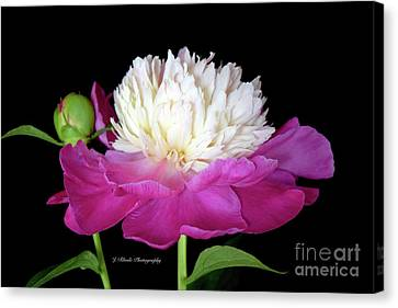 Beautiful Fancy Peony Canvas Print by Jeannie Rhode