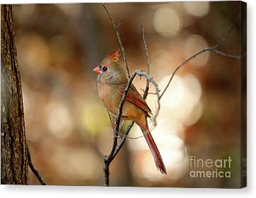 Canvas Print featuring the photograph Beautiful Female Cardinal by Darren Fisher