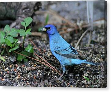 Beautiful Indigo Bunting Canvas Print