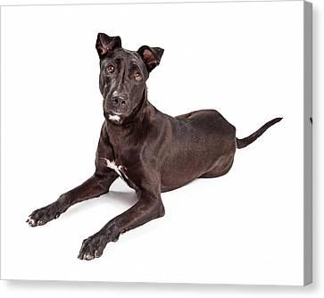 Beautiful Large Labrador Retriever Crossbreed Dog Canvas Print