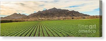 Romaine Canvas Print - Beautiful Lettuce Field by Robert Bales
