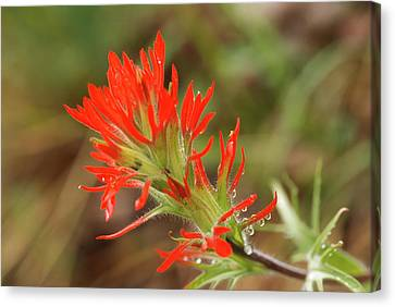 Beautiful Macro Indian Paintbrush Canvas Print by Jerry Voss