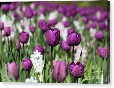 Beautiful Magenta Tulips In Spring Canvas Print by Louise Heusinkveld